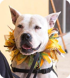 Boxer Mix Dog for adoption in Titusville, Florida - Gouda