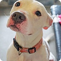 Pit Bull Terrier/Terrier (Unknown Type, Medium) Mix Dog for adoption in Dana Point, California - KAYA