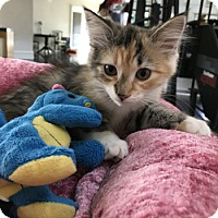 Domestic Mediumhair Cat for adoption in Lutherville, Maryland - Starburst