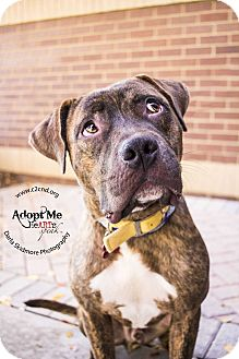 Pit Bull Terrier Mix Dog for adoption in Mooresville, North Carolina - Andre 3000 (Outkast)