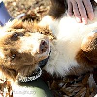 Australian Shepherd Mix Dog for adoption in Muldrow, Oklahoma - LuLu