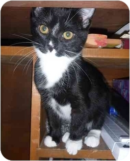 Domestic Shorthair Kitten for adoption in San Ramon, California - Grissini