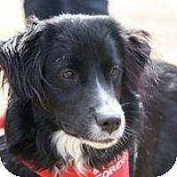 Adopt A Pet :: Gamble - Austin, TX