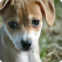 Adopt A Pet :: Cina - Austin, TX