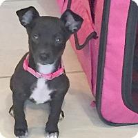Adopt A Pet :: Little Sara - Sneads Ferry, NC