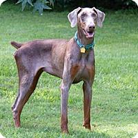Adopt A Pet :: Kitz - Greensboro, NC