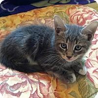 Adopt A Pet :: Furman - East Brunswick, NJ