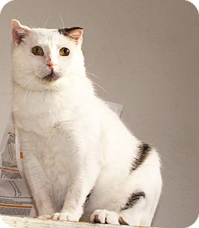 Manx Cat for adoption in Buford, Georgia - Zombie needs love