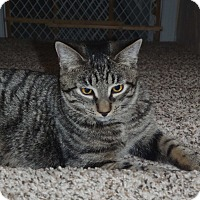 Domestic Shorthair Cat for adoption in Acushnet, Massachusetts - Tyrion