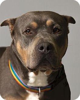 American Bulldog/American Staffordshire Terrier Mix Dog for adoption in Pt. Richmond, California - ROCHELLE