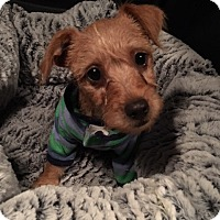 Adopt A Pet :: Winston - Las Vegas, NV