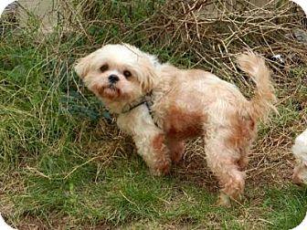 Shih Tzu Mix Dog for adoption in Houston, Texas - Almond Harris