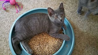 Domestic Shorthair Kitten for adoption in Philadelphia, Pennsylvania - Rosey