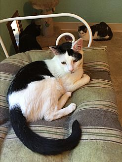 Domestic Shorthair Cat for adoption in Walnut Creek, California - Jarrod