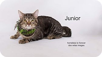 Domestic Shorthair Cat for adoption in Arcadia, California - Junior