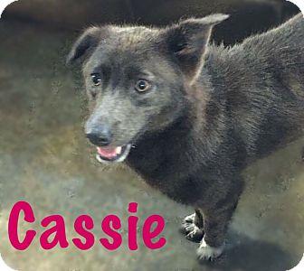 Australian Shepherd/Border Collie Mix Dog for adoption in Fort Wayne, Indiana - Cassie