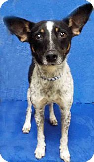 Rat Terrier Mix Dog for adoption in Plainfield, Illinois - Joey