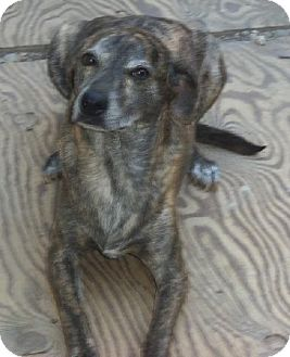 Plott Hound Mix Dog for adoption in Stockton, California - Poko and Poncho