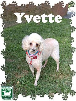 Poodle (Miniature) Dog for adoption in Fallston, Maryland - Yvette