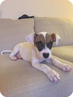 Pit Bull Terrier/Great Dane Mix Puppy for adoption in Baltimore, Maryland - Tory