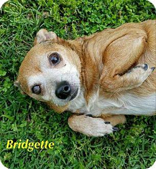 Chihuahua Dog for adoption in Durham, North Carolina - Bridgette