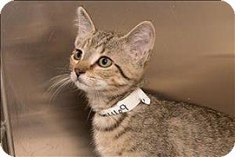 Domestic Shorthair Kitten for adoption in Birmingham, Alabama - Fruit Loops