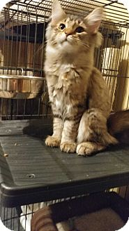Domestic Mediumhair Cat for adoption in Morris, Illinois - WINNIE - PENDING