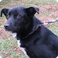 Adopt A Pet :: Lady Di - Unionville, PA