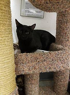 Domestic Shorthair Cat for adoption in Phoenix, Arizona - Onyx