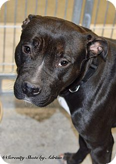 Pit Bull Terrier Mix Dog for adoption in Henderson, North Carolina - Sweet Pea (HW Neg)*