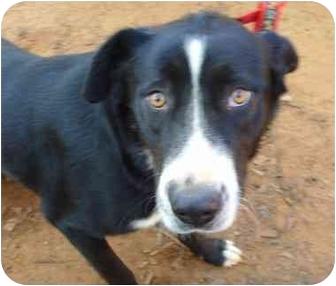 Husky/Labrador Retriever Mix Dog for adoption in Whitehouse, Texas - Dominique