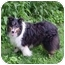 Photo 2 - Sheltie, Shetland Sheepdog Dog for adoption in Mission, Kansas - Colin