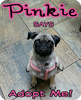 Pug Dog for adoption in Austin, Texas - Pinkie