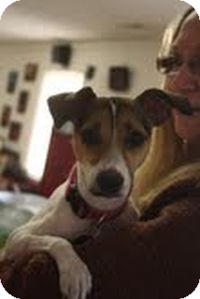 Jack Russell Terrier Mix Dog for adoption in Homewood, Alabama - Emily