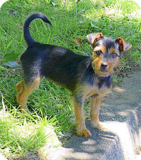 PuppyFind | Scottish Terrier Puppies for Sale