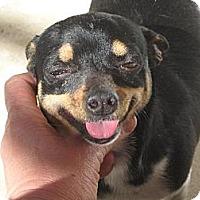 Adopt A Pet :: Chica - Sherman Oaks, CA