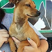 Adopt A Pet :: Chloe Jean(PRA) - Porter Ranch, CA