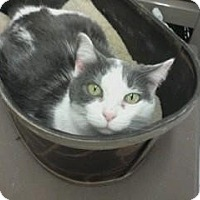 Adopt A Pet :: Sassy - West Dundee, IL