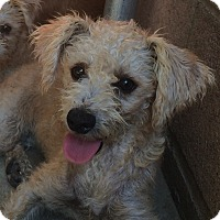 Cairn Terrier/Poodle (Miniature) Mix Puppy for adoption in Santa Ana, California - Tilly