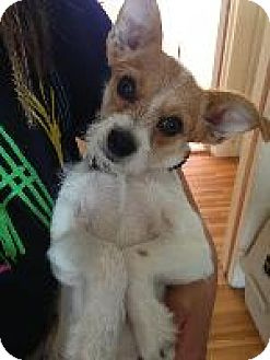 Jack Russell Terrier/Chihuahua Mix Dog for adoption in Pt. Richmond, California - CASHEW