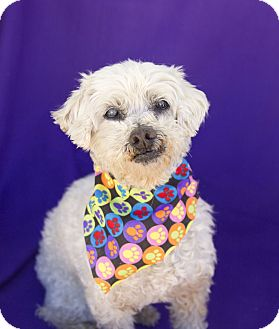Poodle (Miniature) Mix Dog for adoption in Acton, California - Sissy