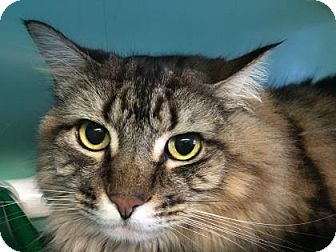 Domestic Shorthair Cat for adoption in Bellevue, Washington - Marbles