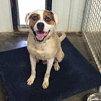 Labrador Retriever/Shepherd (Unknown Type) Mix Dog for adoption in Woodward, Oklahoma - Rocko