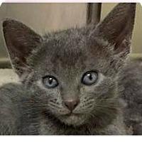 Adopt A Pet :: Jo - Springdale, AR