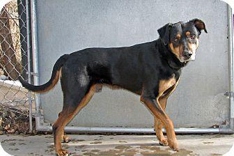 Rottweiler Mix Dog for adoption in Ruidoso, New Mexico - Oscar