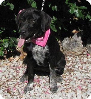 Labrador Retriever/Australian Cattle Dog Mix Dog for adoption in Alstead, New Hampshire - Lucille