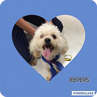 Poodle (Miniature)/Lhasa Apso Mix Dog for adoption in Tracy, California - Jeepers-ADOPTED!