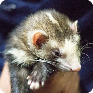 Ferret for adoption in Balch Springs, Texas - Nudge