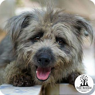 Wheaten Terrier/Poodle (Miniature) Mix Dog for adoption in Agoura Hills, California - 'TANSY'