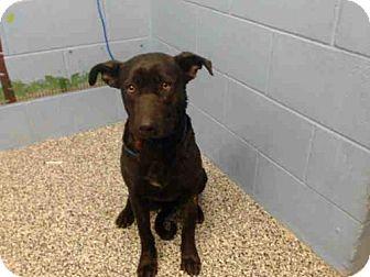 Labrador Retriever/Pit Bull Terrier Mix Dog for adoption in San Bernardino, California - A499612